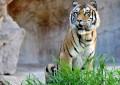 Bioparco di Roma: aperta la nuova area delle tigri di Sumatra